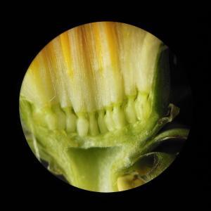 Photographie n°110442 du taxon Taraxacum dens-leonis subsp. officinale (Lyons) Douin [1923]