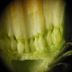 Photographie n°110443 du taxon Taraxacum dens-leonis subsp. officinale (Lyons) Douin [1923]