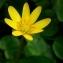 Jacques Maréchal - Ranunculus ficaria L.