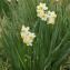 John De Vos - Narcissus tazetta L. [1753]