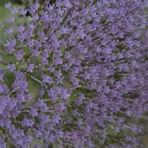 - Trachelium caeruleum L. [1753]