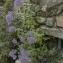 Marc Seguin - Trachelium caeruleum L. [1753]