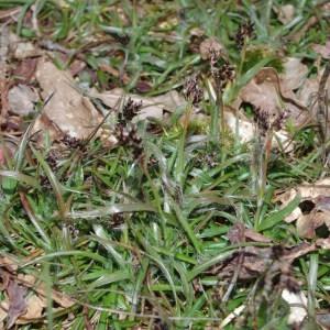 - Luzula multiflora (Ehrh.) Lej.