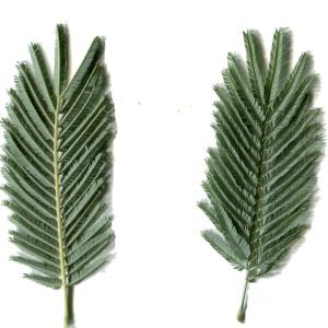Photographie n°110632 du taxon Acacia dealbata Link [1822]