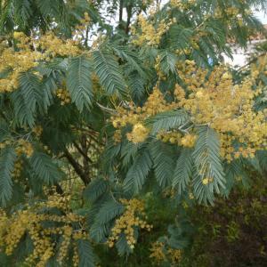 Photographie n°110635 du taxon Acacia dealbata Link [1822]