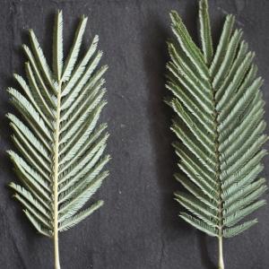 Photographie n°110637 du taxon Acacia dealbata Link [1822]