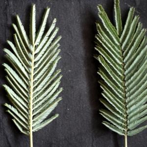 Photographie n°110639 du taxon Acacia dealbata Link [1822]