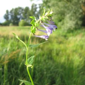 Scutellaria hastifolia L. (Scutellaire à feuilles hastées)