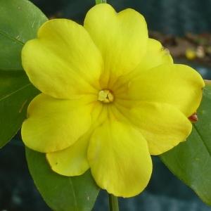 Jasminum nudiflorum Lindl. [1846] (Jasmin à fleurs nues)