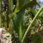 Florent Beck - Brassica napus var. napus