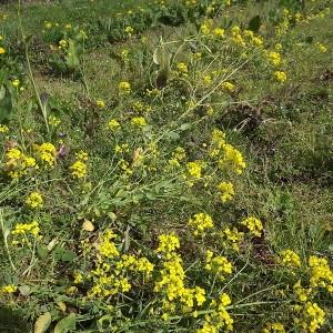 Photographie n°110717 du taxon Brassica napus var. napus