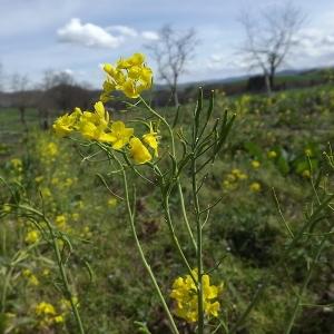 Photographie n°110722 du taxon Brassica napus var. napus