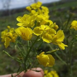 Brassica campestris subsp. napus (L.) Hook.f. & T.Anderson (Colza)