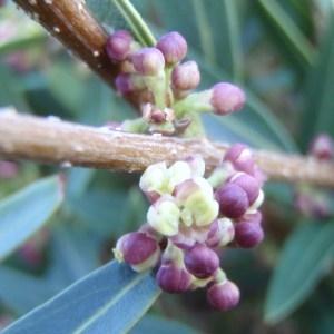 Phillyrea angustifolia L. [1753] (Alavert)