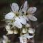 Liliane Roubaudi - Prunus spinosa L. [1753]
