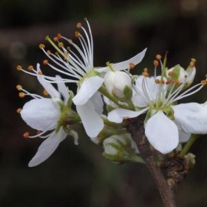 Prunus spinosa L. (Épine noire)