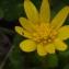Liliane Roubaudi - Ranunculus ficaria L. [1753]