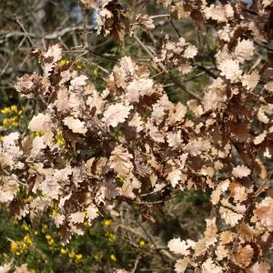 Photographie n°110887 du taxon Quercus pubescens Willd. [1805]