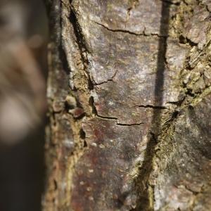 Photographie n°110890 du taxon Quercus pubescens Willd. [1805]