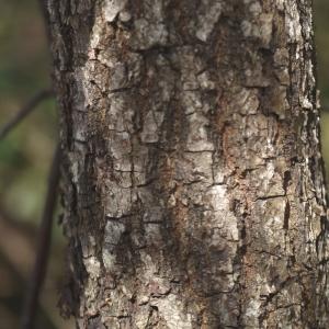 Photographie n°110892 du taxon Quercus pubescens Willd. [1805]