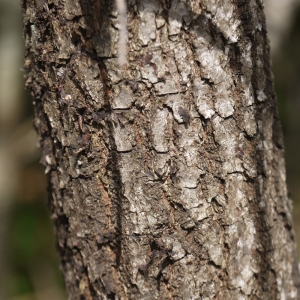 Photographie n°110894 du taxon Quercus pubescens Willd. [1805]