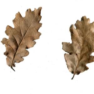 Photographie n°110895 du taxon Quercus pubescens Willd. [1805]