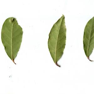 Photographie n°111066 du taxon Arbutus unedo L. [1753]