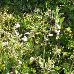 Photographie n°111096 du taxon Silene latifolia subsp. alba (Mill.) Greuter & Burdet [1982]