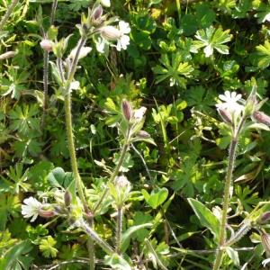 Photographie n°111097 du taxon Silene latifolia subsp. alba (Mill.) Greuter & Burdet [1982]