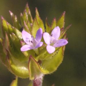 Sherardia arvensis L. var. arvensis (Rubéole)