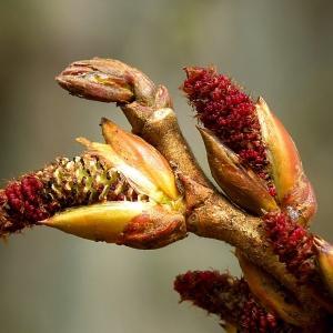 Photographie n°111175 du taxon Populus nigra L.