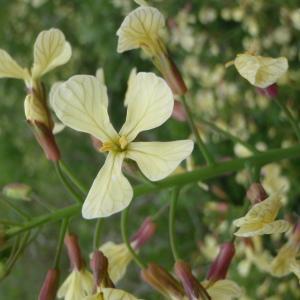 - Raphanus raphanistrum subsp. raphanistrum