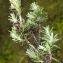 Liliane Roubaudi - Helichrysum stoechas (L.) Moench [1794]
