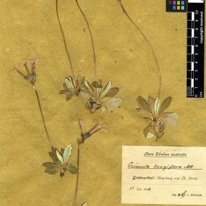Photographie n°111284 du taxon Primula longiflora All.