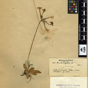 Photographie n°111293 du taxon Primula longiflora All.