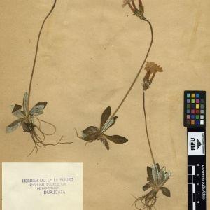 Photographie n°111322 du taxon Primula longiflora All.