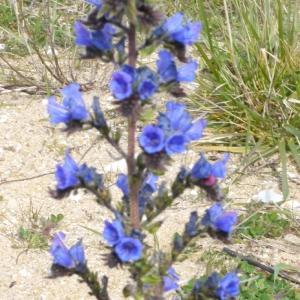 Photographie n°111464 du taxon Echium vulgare var. pustulatum (Sm.) Coincy