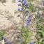 Liliane Roubaudi - Echium vulgare var. pustulatum (Sm.) Coincy