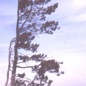 Photographie n°111518 du taxon Pinus nigra subsp. salzmannii (Dunal) Franco