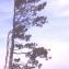 Liliane Roubaudi - Pinus nigra subsp. salzmannii (Dunal) Franco