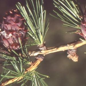 Photographie n°111537 du taxon Larix decidua Mill.