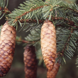 - Picea abies subsp. abies