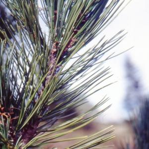 Pinus cembra L. (Pin cembro)