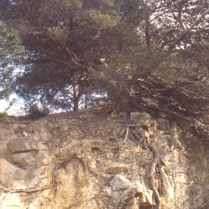 Photographie n°111564 du taxon Pinus halepensis Mill. [1768]