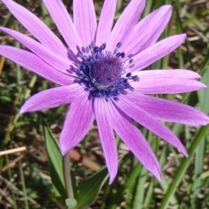 Anemone hortensis L. (Anémone des jardins)
