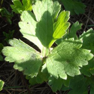 Photographie n°111651 du taxon Ranunculus bulbosus L. [1753]