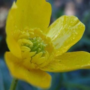 Photographie n°111654 du taxon Ranunculus bulbosus L. [1753]