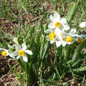 Photographie n°111659 du taxon Narcissus tazetta L.