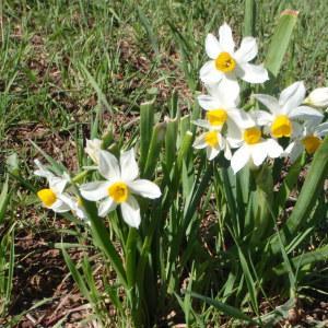 Photographie n°111660 du taxon Narcissus tazetta L.