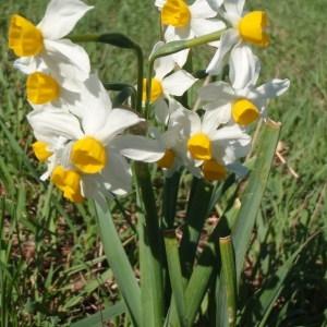Photographie n°111662 du taxon Narcissus tazetta L.